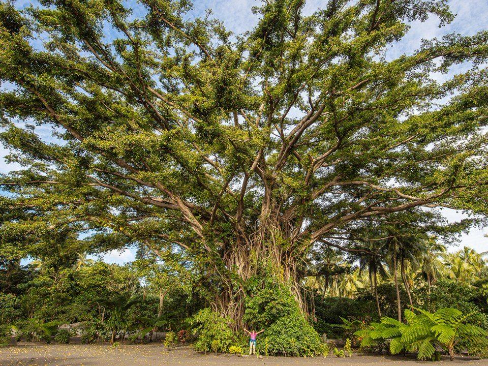banjan tree mit freuer rednerin in bruchsaal